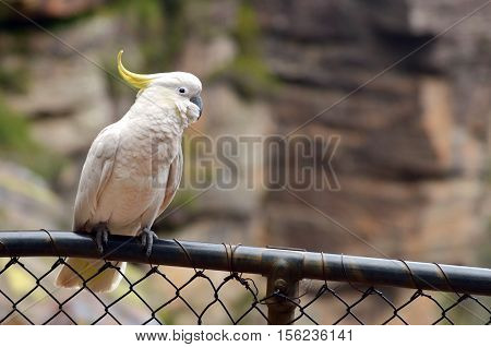 Cockatoo Sit On A Fance In Jamison Valley New South Wales Australia