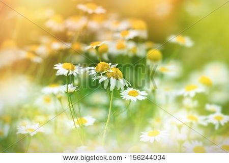Chamomile in meadow (wild chamomile) - daisy flower in spring