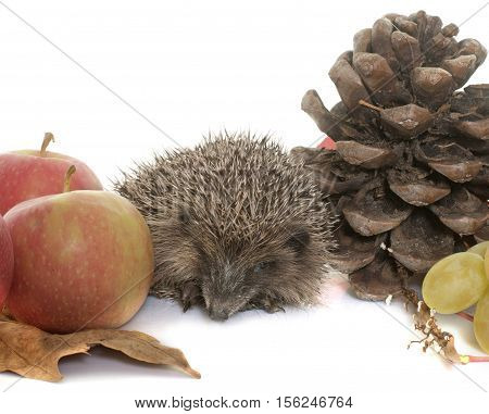 hedgehog in autum in front of white background