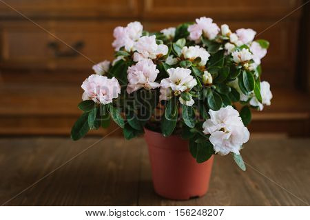 Rhododendron flowers in a pot on a wooden table.
