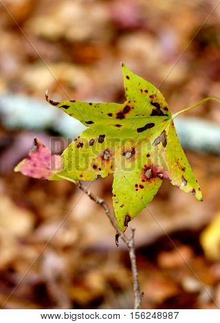 Closeup of sweet gum leaf in Fall with brown background