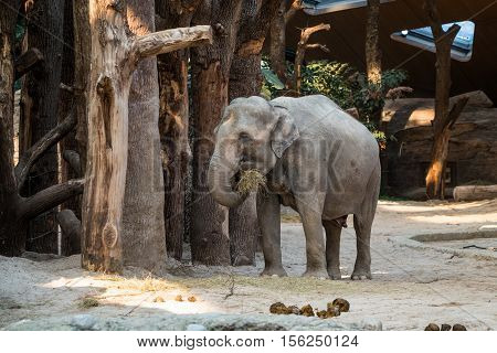 A big gray animal standing in front of trees with straw in its trunk