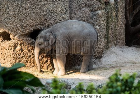 A young baby elephant standing with its trunk hanging