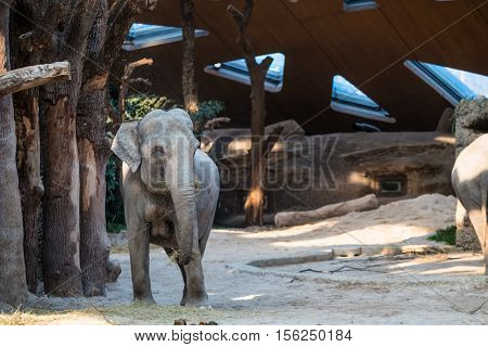 A big grey elephant standing in front of trees.