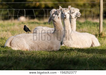 Jackdaw (Corvus monedula) standing on alpaca. Small crow in the family Corvidae resting on back of white alpaca in English field