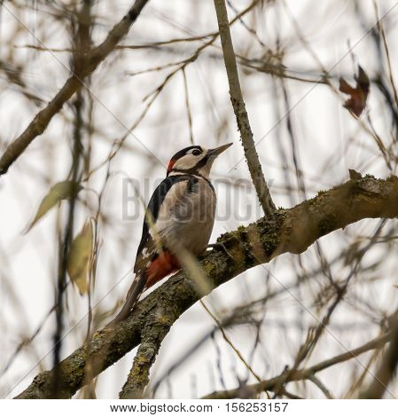 Great spotted woodpecker (Dendrocopos major) eating aphids. Adult bird in the family Picidae feeding on small insects on branch of tree in Somerset UK