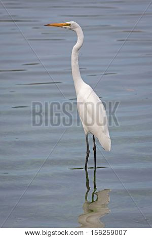 Distributed across most of the tropical and warmer temperate regions of the world the Great Egret (Ardea alba) is also known as the common egret large egret or great white heron. This example was photographed in Western Australia.
