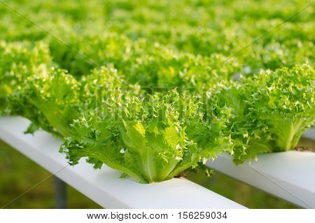 Hydroponic vegetables growing in greenhouse Thailand Frill iceberg lettuce