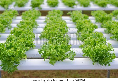 Sprout hydroponic vegetables growing in greenhouse Thailand Frill iceberg lettuce