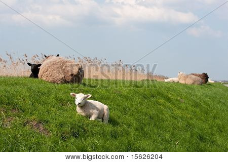 Sheep with lambs on the dike in Holland