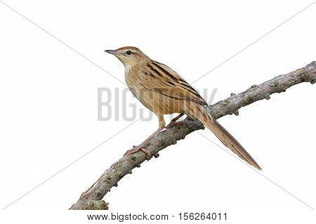 Striated Grassbird Bird