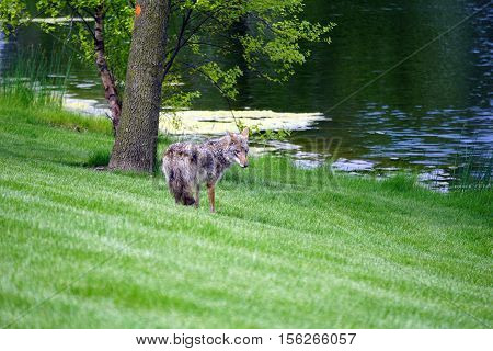 A wild coyote (Canis latrans) stands beside the shore of a small lake in the Wesmere Country Club subdivision of Joliet, Illinois during May.