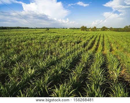 sugarcane field with blue sky nature background .
