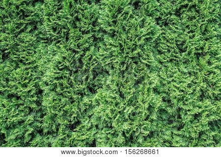 White cedar background. Green leaf texture. Tiny green leaves background. The natural texture of white cedar.
