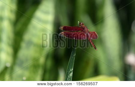 Red Dragonfly On Green Background