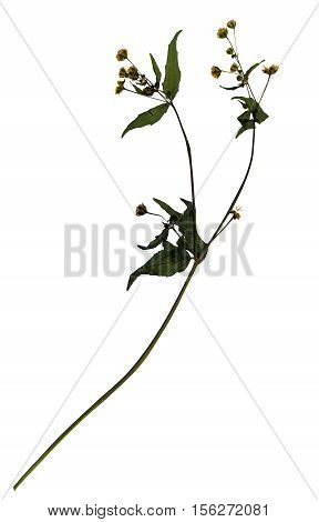 Pressed and dried flowers and leaves of gallant soldier (Galinsoga parviflora) on stem with leaves isolated on white background for use in scrapbooking floristry (oshibana) or herbarium.