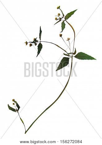 Pressed and dried flowers and leaves of gallant soldier (Galinsoga parviflora) on stem with leaves isolated on white background for use in scrapbooking