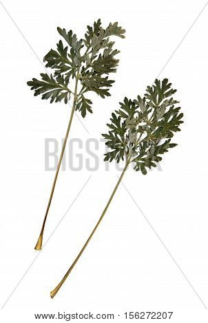Pressed and dried leaves of common wormwood (Artemisia vulgaris) on stem with leaves isolated on white background for use in scrapbooking floristry (oshibana) or herbarium.