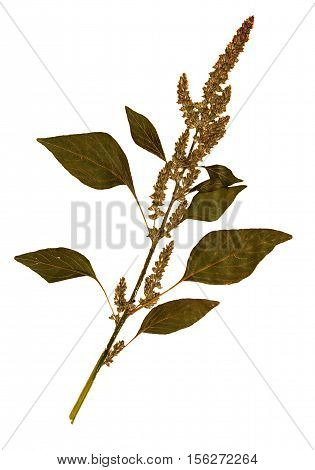 Pressed and dried flowers and leaves of foxtail amaranth (Amaranthus caudatus) on stem with leaves isolated on white background for use in scrapbooking