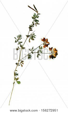 Pressed and dried flowers and leaves of yellow lucerne (Medicago falcata) on stem with leaves isolated on white background for use in scrapbooking floristry (oshibana) or herbarium.