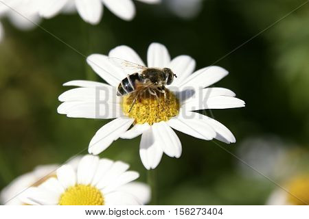 white marguerite with a wasp on it
