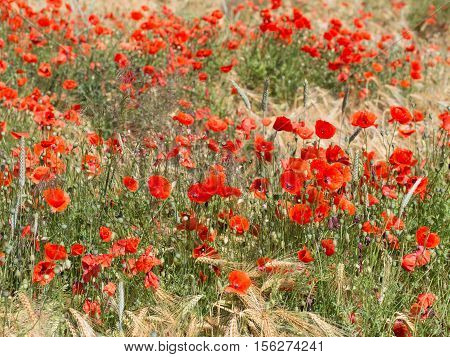 blooming red poppy in a wheat field - Papaver rhoeas