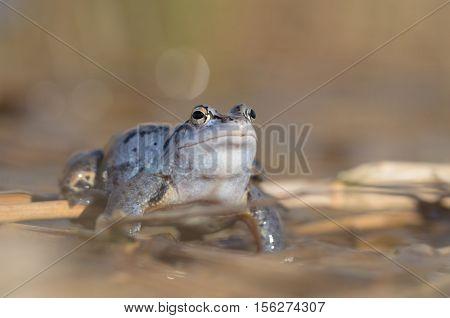 male Moor frog - Rana arvalis, closeup nature photo