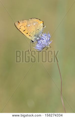 Scarce copper - Lycaena virgaureae, closeup nature photo
