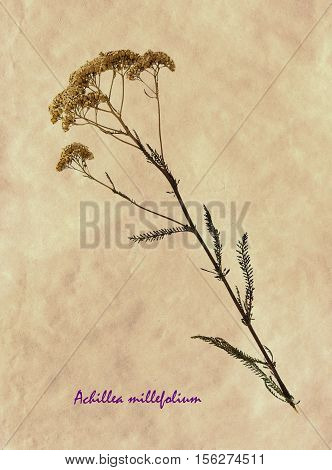 Herbarium from pressed and dried flower of common yarrow on antique brown craft paper with Latin subscript Achillea millefolium.