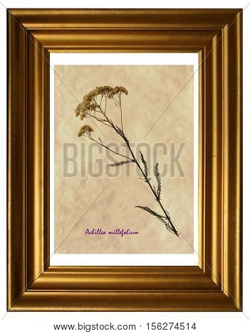 Herbarium from pressed and dried flower of common yarrow (Achillea millefolium) in the frame.