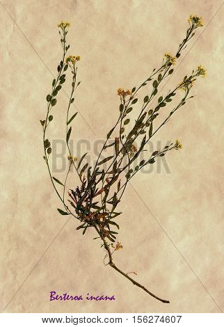 Herbarium from pressed and dried flower of hoary alyssum on antique brown craft paper with Latin subscript Berteroa incana.