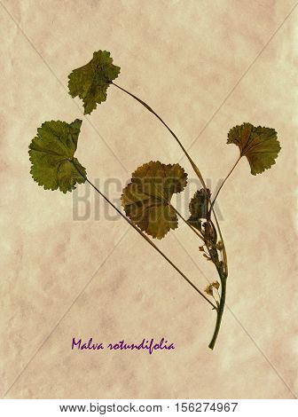 Herbarium from pressed and dried flower of Malva rotundifolia on antique brown craft paper with Latin subscript Malva rotundifolia.