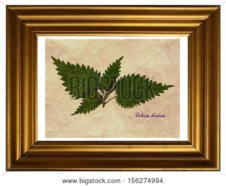 Herbarium from pressed and dried leaves of stinging nettle (Urtica dioica) in the frame.