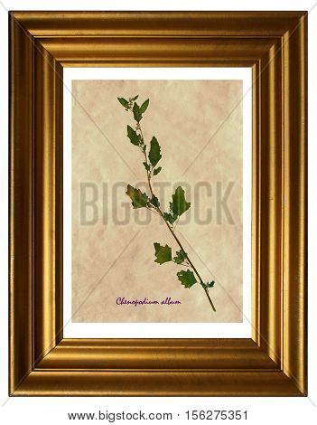 Herbarium from pressed and dried leaves of white goosefoot (Chenopodium album) in the frame.