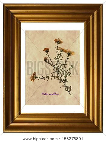Herbarium from pressed and dried flowers of European Michaelmas-daisy (Aster amellus) in the frame.