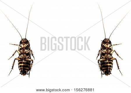 Cockroach Macro view insect isolated on a white