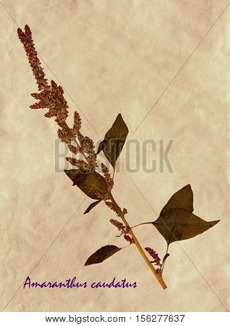 Herbarium from pressed and dried flowers and leaves of foxtail amaranth on antique brown craft paper with Latin subscript Amaranthus caudatus.