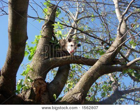 Possom In Tree