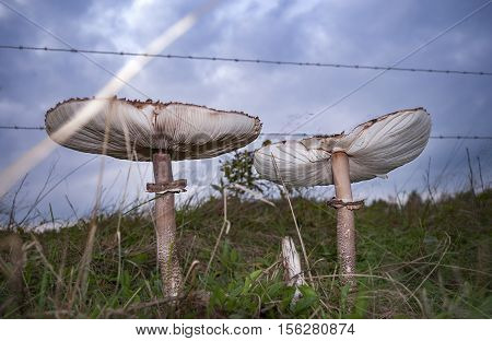 Fungus in background barbed wire and dramatic sky, Netherlands