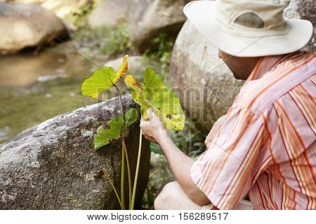 Ecology And Environmental Safety. Scientist In Panama Hat Examining Leaves Of Green Plant For Leaf S