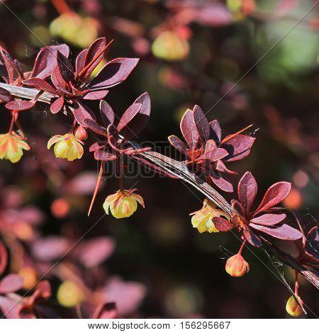The Thunberg barberry (Berberis thunbergii `Coronita`). Branch with flowers closeup