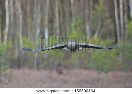adult, albicilla, animal, background, beautiful, bielik, bird, eagle, europe, european, feather, flight, fly, haliaeetus, isolated, nature, norway, predator, sea, tailed, water, white, white-tailed, wild, wildlife, wing