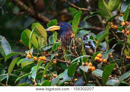 Great barbet in the nature (Megalaima virens)