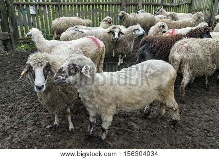 Sheep in a farmhouse possing for photographer