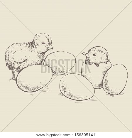 Chick peeking out of eggs. Series sketch illustration for print infographics or other design working. Graphics handmade drawing chick with eggs. Chicken vector image. Vintage engraving style.