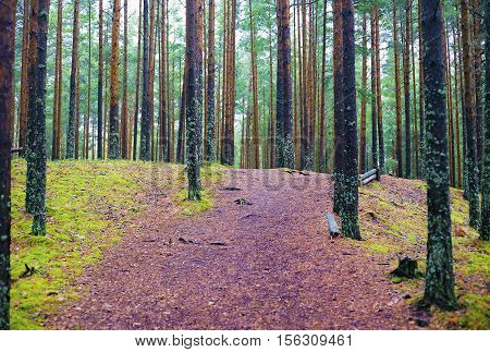 Wide path and clearing in a bright autumn pine forest