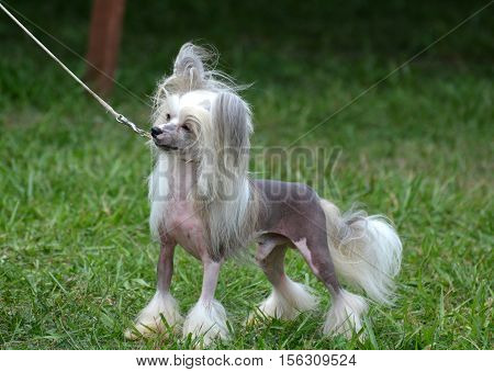Also known as the powderpuff the hairless Chinese crested dog is a toy breed.