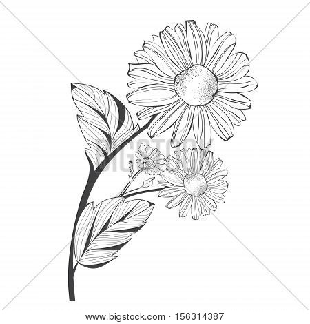 Branch of Single Daisy Flower Over White Background