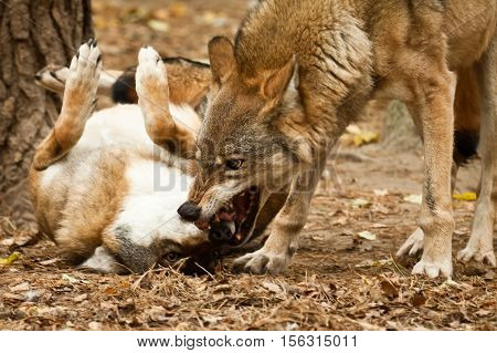 Two wolfs fighting in forest in autumn