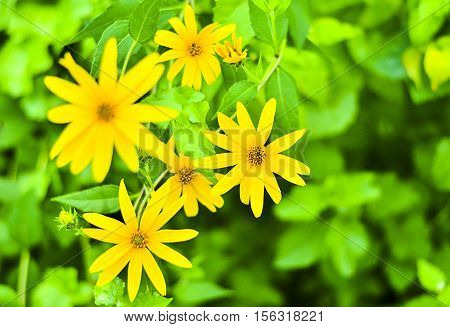 Tree marigold Mexican tournesol Mexican sunflower Japanese sunflower Nitobe chrysanthemum